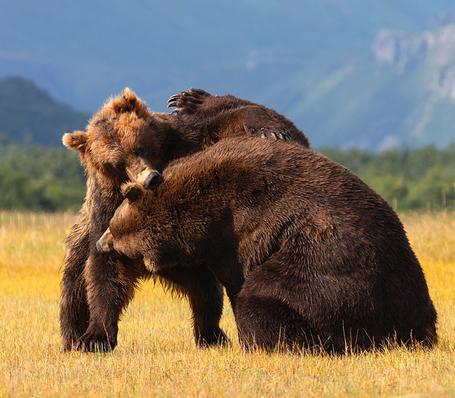 Bearfight_medium