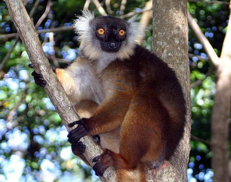 762px-eulemur_macaco_female_01_medium