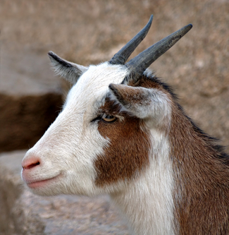 Goat_medium