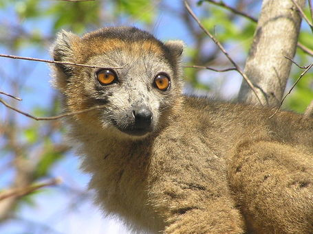 800px-eulemur_coronatus_male__frank_wouters__medium