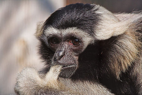 800px-pileated_gibbon__hylobates_pileatus__medium
