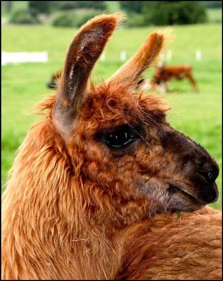 Llama_medium