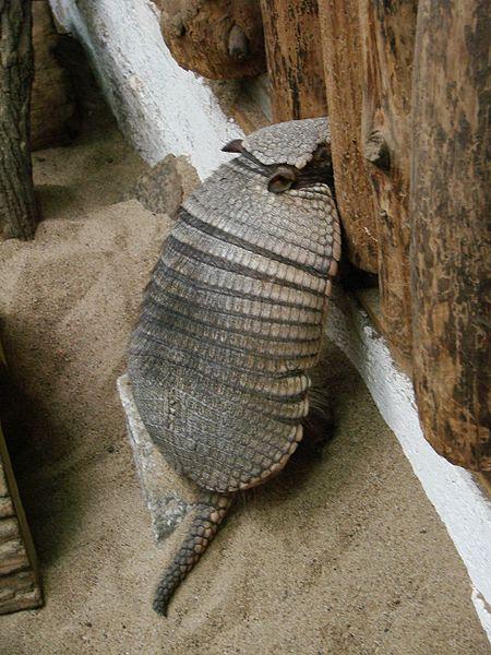 450px-chaetophractus_villosus__wroclaw_zoo__medium