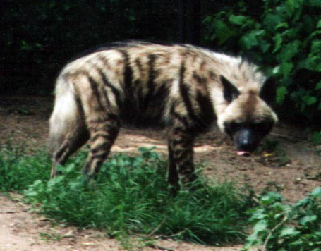Striped_hyena_medium