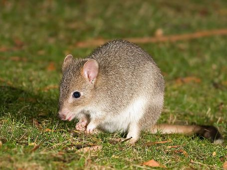 800px-bettongia_gaimardi_medium