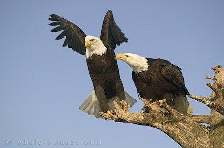 Bald-eagles_113_medium