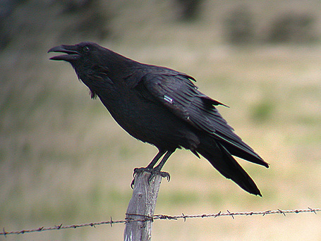 Raven1b_medium