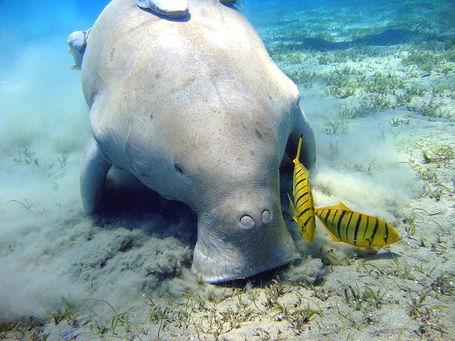 800px-dugong_marsa_alam_medium