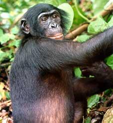 Bonobo_medium