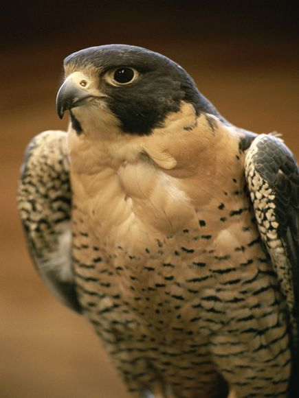 Peregrine-falcon_medium