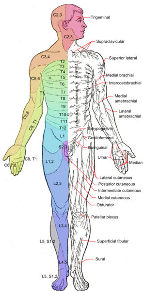295px-dermatomes_and_cutaneous_nerves_-_anterior_medium