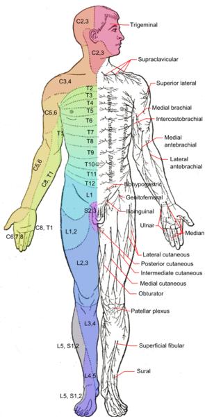 295px-dermatomes_and_cutaneous_nerves_-_anterior_medium