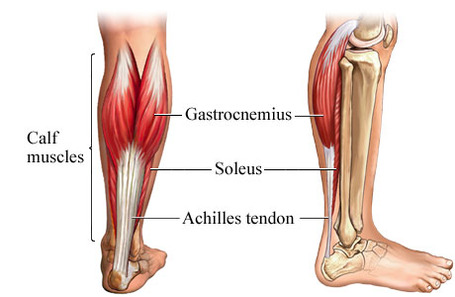 Gastroc-soleus_medium