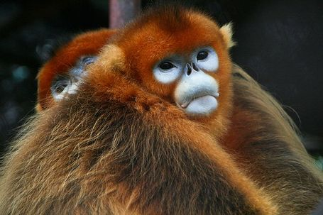 800px-golden_snub-nosed_monkeys_medium