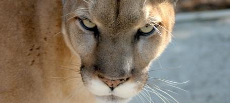 Panther2_medium