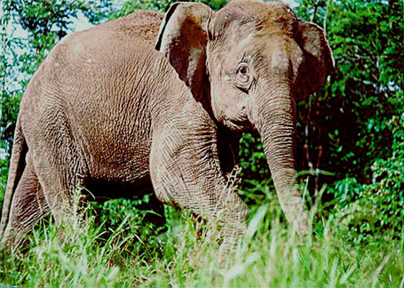 Borneo-elephant-plos_biology_medium