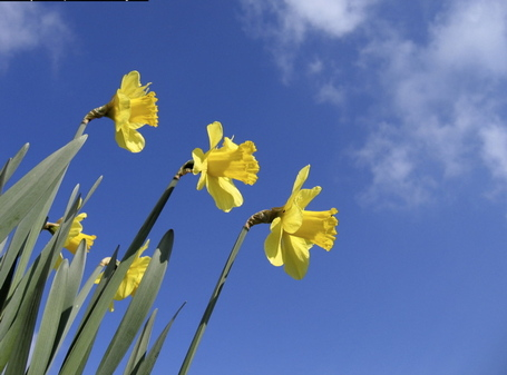 Daffodils_1_medium