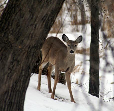 Deer_medium
