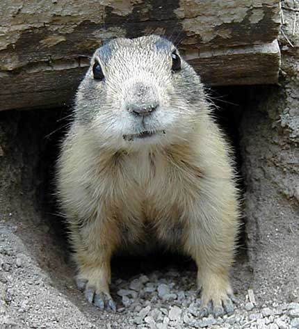 Gunnison_s_prairie_dog_medium