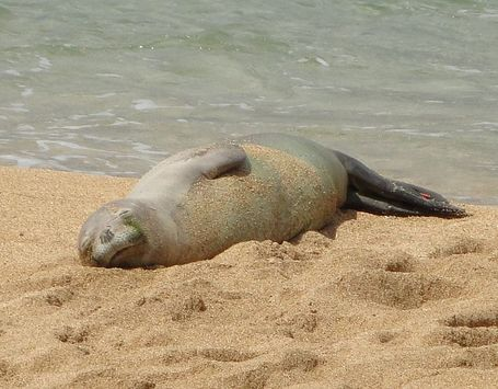 768px-hawaiian_monk_seal_medium