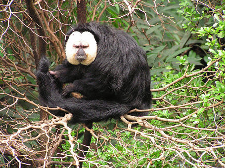 800px-white-faced_saki_2008-07_medium