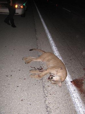 Panther-road_medium