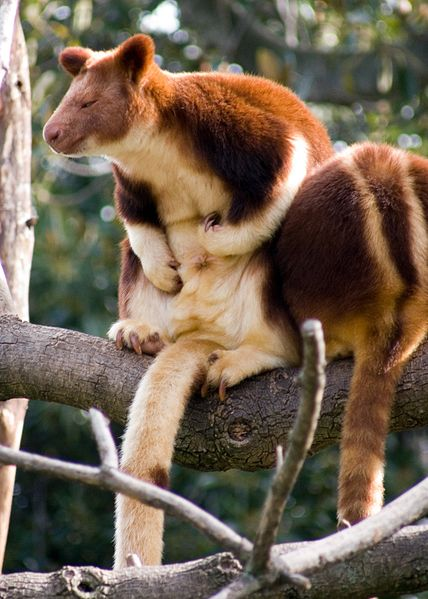 428px-tree_kangaroo2_medium