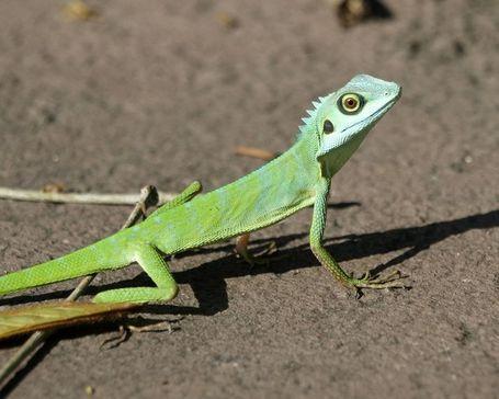 750px-green_crested_lizard__bronchocela_cristatella__medium