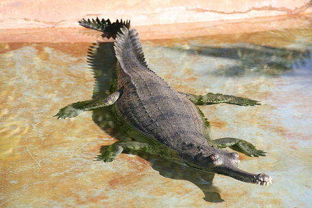 800px-gavialis_gangeticus_medium