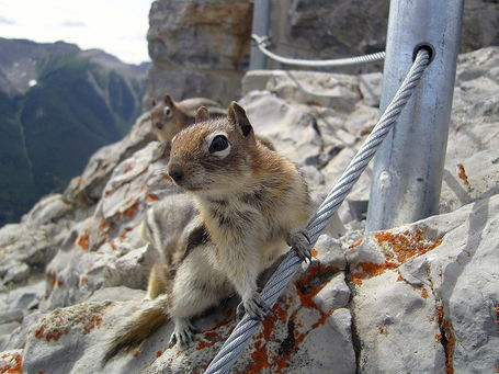 800px-golden_mantled_ground_squirrel_sulphur_mountain_banff_medium