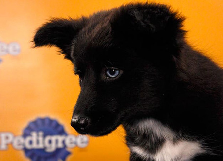 Puppy-bowl-2012-2_medium