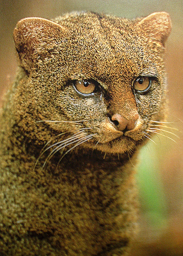 Favorite_4_-_jaguarundi_medium