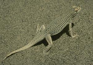 Coachella_valley_fringe-toed_lizard_medium