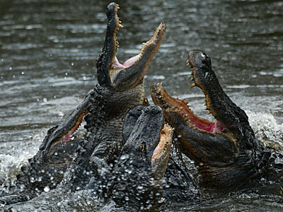 Alligator-feeding-frenzy_medium