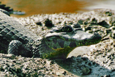 Caiman_zoom_medium