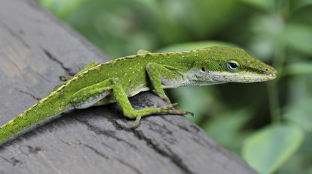 Anole_lizard_hilo_hawaii_edit_medium
