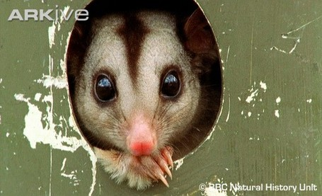 Mahogany-glider-in-breeding-box_medium