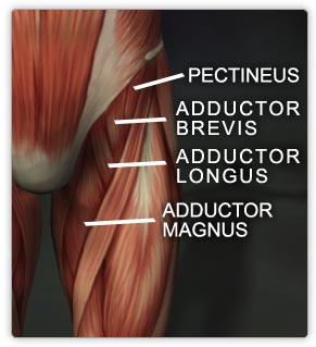 Adductors_medium