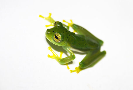 800px-emerald_glass_frog__centrolene_prosoblepon__lightbox_medium