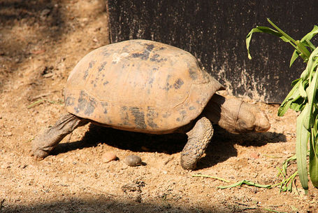 800px-elongated_tortoise__indotestudo_elongata__-_thailand_1_medium