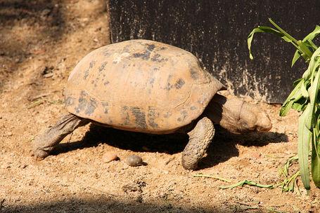 800px-elongated_tortoise__indotestudo_elongata__-_thailand_1_medium