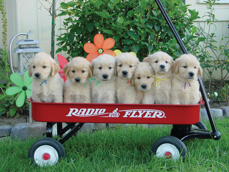 Puppies-in-a-wagon_medium