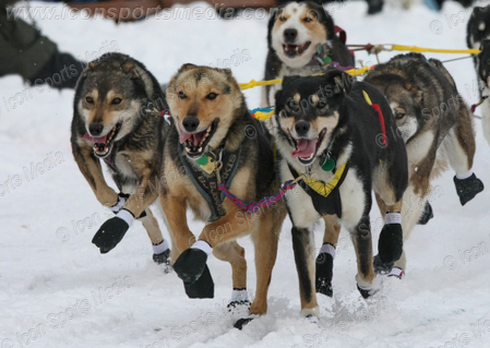 Md_28869639_iditarod_medium