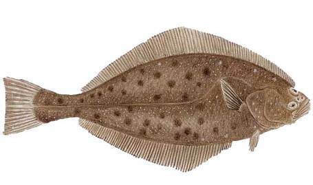 Lbf_pacific_halibut_medium