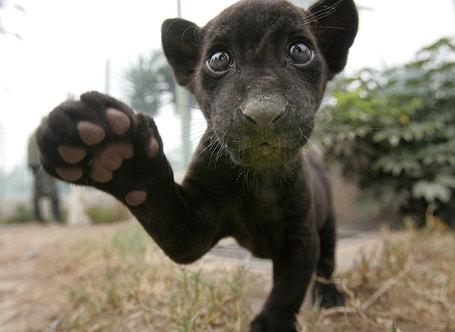 Black-baby-jaguar_medium