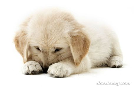 Golden-retriever-puppy-6_medium