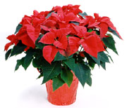 Poinsettia_medium_medium