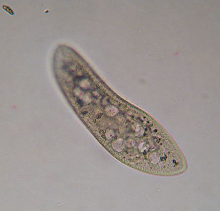 Paramecium2_medium
