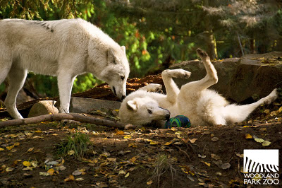 Animals With Soccer Balls Is Adoracute: Wolves - SBNation.com  Animals With So...